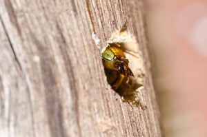 Carpenter Bee Removal From Twin Forks Pest Control
