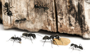 Carpenter Ant Infestation From Twin Forks Pest Control®