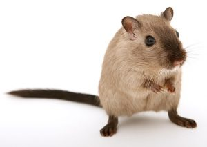 Mouse Extermination in Moriches NY by Twin Forks Pest Control