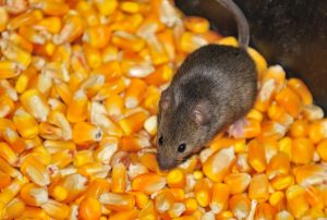 Mice and Pests from Twin Forks Pest Control