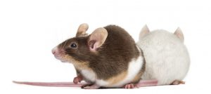 Mice Extermination in Speonk by Twin Forks Pest Control®
