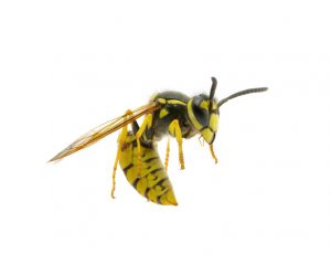Wasp Removal in Montauk, Long Island