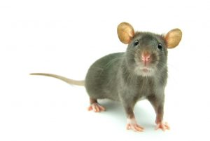 Rat Exterminator from Twin Forks Pest Control