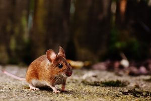Mouse extermination Amagansett, NY by Twin Forks Pest Control