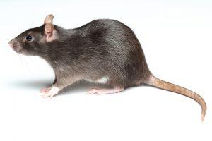 Rat Extermination East Quogue Twin Forks Pest Control