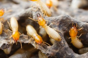 Termite Removal Long Island by Twin Forks Pest Control