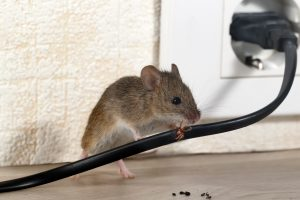 mouse chewing on electrical wire