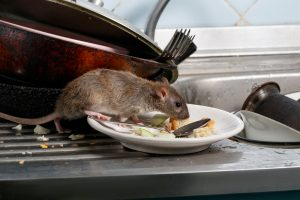 A rat eating from a plate in a kitchen.