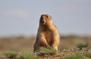 A groundhog on the ground.