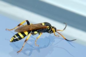 A black and yellow hornet.