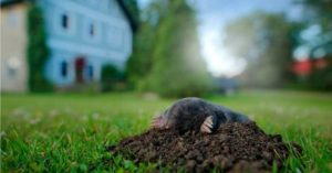 A close-up image of a mole in someone's yard.